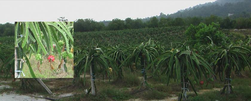 Dragon fruit orchard near Swiss Garden Damai Laut Resort Lumut, Perak