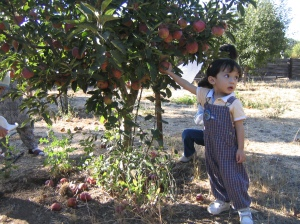 I choose the red apples from my Abah's friend neighbour's house in Palo Alto, California [2005]