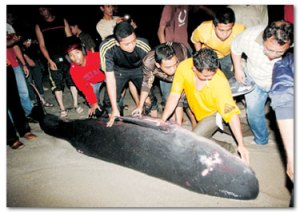 Blue Whale At Batu Buruk Beach.