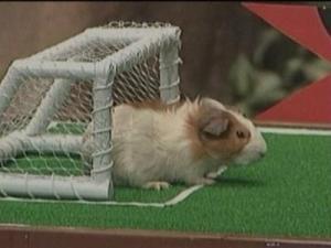 guinea-pig2