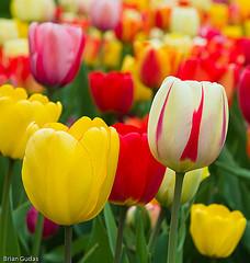 Colourful tulip