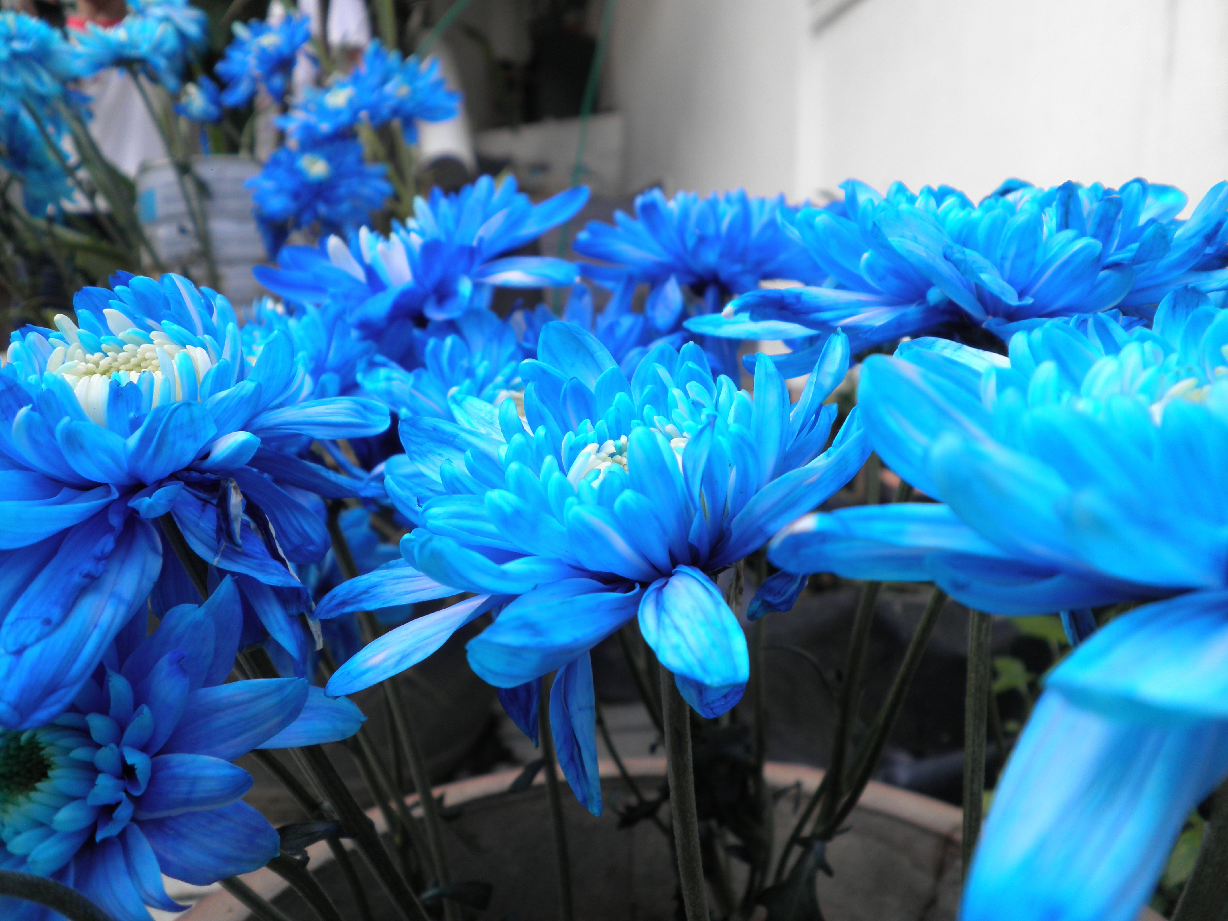 chrysanthemum | Ahmad Ali Karim's Weblog