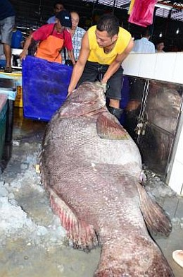 Heavy task: A group of men trying to lift the 195kg grouper at Cecil Street Market in Penang. The Star, December 19 2012.
