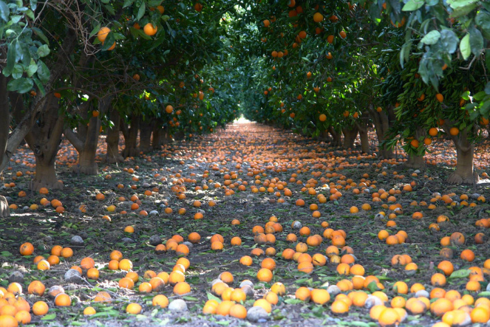 An orange orchard in the Southern California.