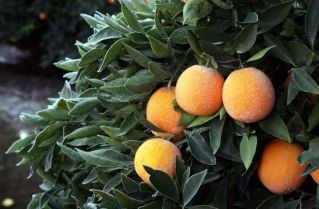 This Jan. 12, 2013, photo shows frost on a tree with oranges in an orchard near Sanger, Calif., after a night of freezing temperatures. As an unusual cold spell gripped parts of the West for a fifth day, some California citrus growers reported damage to crops and an agriculture official said national prices on lettuce have started to rise because of lost produce in Arizona. LOCAL PRINT OUT (VISALIA TIMES-DELTA, REEDY EXPONENT, KINGBURG RECORDER, SELMA ENTERPRISE, HANFORD SENTINEL, PORTERVILLE RECORDER, MADERA TRIBUNE, THE BUSINESS JOURANL FRENSO); LOCAL TV OUT (KSEE24, KFSN30, KGE47, KMPH26) Photo: The Fresno Bee, Craig Kohlruss Read more: http://www.ctpost.com/news/science/article/Bitter-cold-grips-West-citrus-and-lettuce-damaged-4191498.php#ixzz2IwkeFhiZ