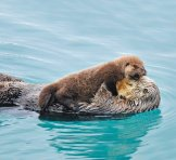 An otter pup balances on his mother's belly. (Photo by Tom & Pat Leeson/ardea.com/National Geographic)