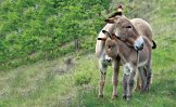 Mother donkeys and their foals share a strong bond. Foals are weaned when they are about six months old or when the next foal is born. (Photo by Klein-Hubert/Kimball Stock/National Geographic)