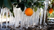 Icicles are formed on an orange tree in an orange grove in Redlands, Calif., Tuesday, Jan. 15, 2013. (AP / Jae C. Hong) Read more: http://www.ctvnews.ca/canada/cold-snap-in-california-arizona-likely-to-drive-up-canadian-produce-prices-1.1124323#ixzz2Iy8GSlUV