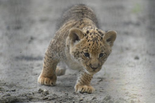 A month old liliger cub walks in Novosivirsk Zoo in Russia on June 18, 2013. (AP Photo /IInar Salakhiev)
