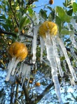 Oranges encased in ice after an overnight frost at Bellamy Grove, Inverness in Florida. Photograph: Matthew Beck/AP