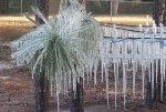Icicles cover a tree in Ocala as temperatures drop below freezing early Tuesday, Jan. 7, 2014. (PHOTO/Debbie Stewart, Viewer)