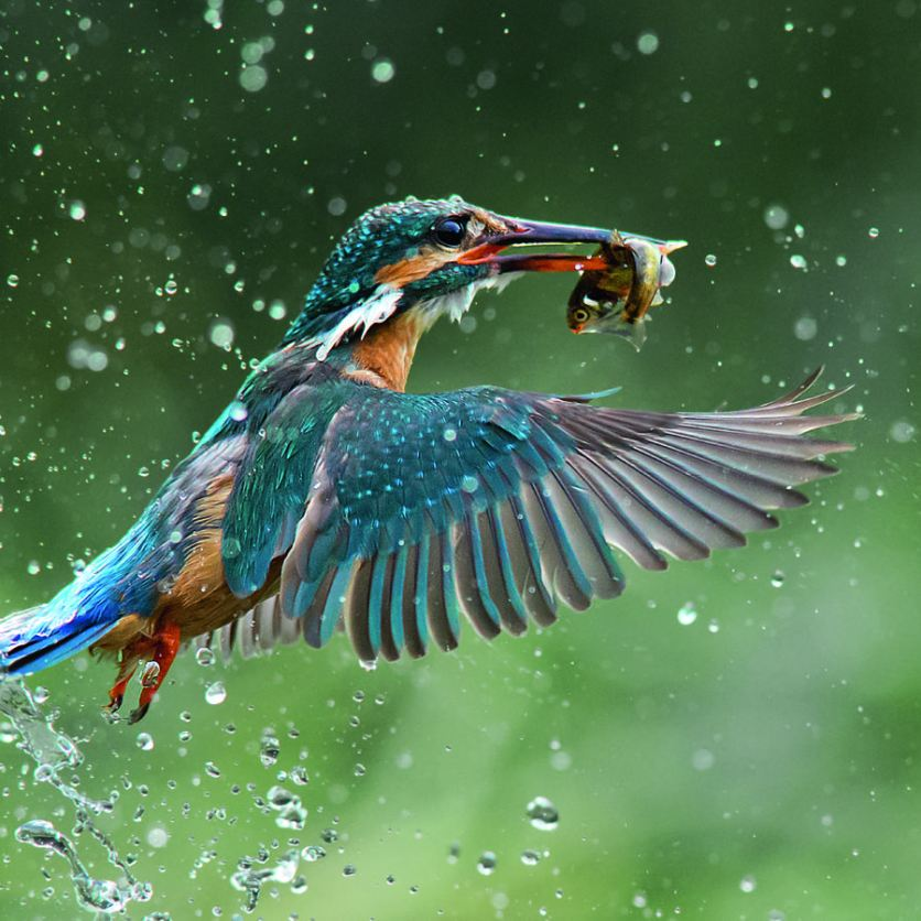 An incredibly detailed image of a Kingfisher catching its lunch in Norfolk earned Jamie MacArthur a finalist place in the Natural category. Will it be the overall winner though? (Jamie MacArthur/ National Geographic Traveller Photography competition/ Telegraph Outdoor Adventure and Travel Show)