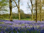 Colourful: Bluebells in the Old Henley Road woods, Oxfordshire, Britain. (Rex)