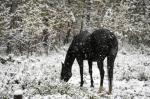 A grazes a snow covered pasture during a late summer snow storm near Calgary, Alta., Monday, Sept. 8, 2014. Snow fall warnings have been issued for much of the province over the next couple of days. THE CANADIAN PRESS/Jeff McIntosh