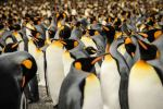 In a crowd of King Penguins: This image aims to capture and reflect how gracious and colourful Wildlife can be even at the ends of the Earth (Lisa Vaz, Portugal, Entry, Nature and Wildlife Category, Open Competition, 2015 Sony World Photography Awards)