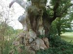 File photo of a tree in Lullingstone Country Park which has the profile of a womans face on it's left side. One of a series of images of trees that look like different things to accompany a today story, May 18 2015 about a tree that looks like it has a grumpy face. See SWNS story SWTREE: Wood yew be-leaf it?