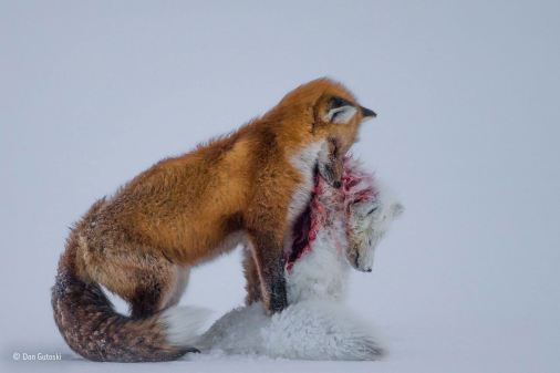 The overall winner of the competition was Canadian photographer Don Gutoski. The judges were moved by his picture of a red fox clutching a lifeless arctic fox in a rare example of the two larger of the two foxes hunting its smaller cousin. The picture was taken in the far north of Canada, where global warming has forced the two species to live in the same areas and compete for the same prey. (Don Gutoski / Wildlife Photographer of the Year 2015)
