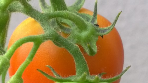 A close up photo of one of the nice, red, ripe tomatoes ready to be plucked.