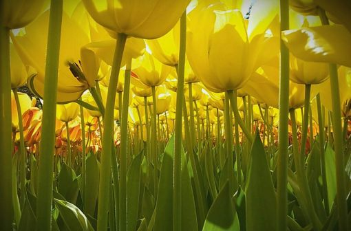 Flower power Dewi Baggerman, 11, from the Netherlands, won the international grand prize for her picture of tulips from the ground up. (Picture: Dewi Baggerman/National Geographic)