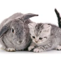 British Shorthair silver-spotted kitten, 8 weeks old, with silver Lop rabbit. (Photo: Warren photographic/Caters News)