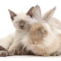 Blue-point Birman-cross kitten dozing with fluffy bunny. (Photo: Warren photographic/Caters News)