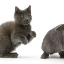 Russian Blue kitten chasing blue Lop rabbit. (Photo: Warren photographic/Caters News)