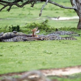 Forsaken: Death is inevitable. A spotted deer struggles furiously and helplessly as a bask of crocodiles enter into a feeding frenzy. It turns its eyes heavenwards, but seconds later is ripped to shreds by the ravenous reptiles. The acute desperation evident in this image captured on the banks of the Buthawa tank in Yala National Park is enough to trigger one's fight-or-flight response. The ill-fated deer was originally felled by just one crocodile, but the others were quick to join in. Last year, we compared Milinda Wattegedara's equally well-timed special mention image to a Monet painting, this year it's reminiscent of a twisted, jungle-themed Botticelli. With his steady hand, he has framed a staggering, action-packed image that depicts the gory, no rules apply rule of Mother Nature.