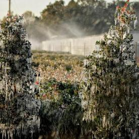 A thin layer of ice covers ornamental plants Thursday, Jan. 4, 2018, in Plant City, Fla. Temperatures in central Florida dipped to below freezing. Growers spray water on the plants to help protect them from extreme cold temperatures. (AP Photo/Chris O'Meara)