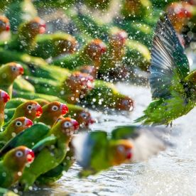 As the drought in Zambia's South Luangwa National Park stretched on, the waterholes dwindled to pools. Flocks of Lilian's lovebirds congregated together and when the coast was clear they descended to this pool. They shuffled forward, taking it in turns to drink and bathe, as if on a conveyor belt.