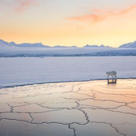 The Arctic is beautiful all year-round, but in the late winter, when temperatures reach -30 ̊C (-22 ̊F) and everything is white and the sun stays low on the horizon, it's stunning. Josh was on a boat in a fjord across from Longyearbyen, Svalbard, Norway, and encountered this polar bear walking along the edge of the ice. She was curious, walking past the boat twice – just long enough for Josh to take a shot with her white coat glowing in the setting sun. After satisfying her curiosity, she silently walked off into the distance.