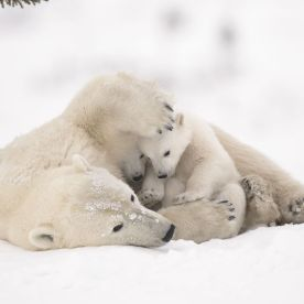 When polar bear mothers and cubs emerge from their dens in the early spring, the cubs stay close to their mothers for warmth and protection. Once the cubs are strong and confident enough, they make the trek to the sea ice with their mother so that she can resume hunting for seals. Debra waited six days near the den of this family, in Wapusk National Park, Manitoba, Canada, before they finally emerged. In the most challenging conditions she has ever faced, temperatures ranged from – 35 ̊C (-31 ̊F) to -55 ̊C (-67 ̊F) with high winds, making it almost impossible to avoid frostbite and keep her camera gear functioning properly. (Wildlife Photographer of the Year)