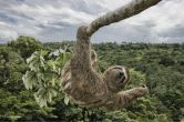 Luciano had to climb the cecropia tree, in the protected Atlantic rainforest of southern Bahia, Brazil, to take an eye-level shot of this three-toed sloth. Sloths like to feed on the leaves of these trees, and so they are often seen high up in the canopy.