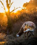 Each time Ossi attempts to photograph a new fox, he has to start the whole process of familiarisation again. (SWNS)