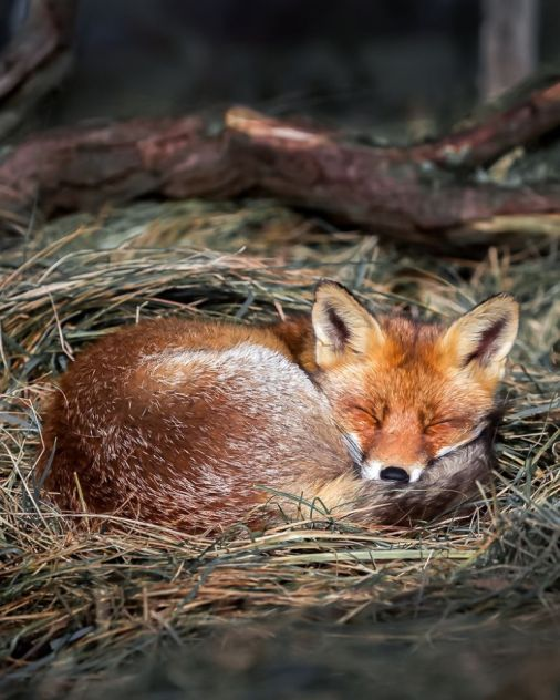 One fox is captured curled up sleeping in a straw nest. (SWNS)
