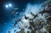 Laurent Ballesta's images show the glimmering gray reef sharks hunting in swift packs, flying through the water and feasting on the likes of helpless grouper. (Photo: Caters News)
