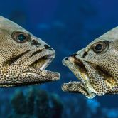 The grouper there spawn only once a year under a full moon, sometime in June or July, and only for around 30 minutes. (Photo: Caters News)