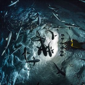 One committed photographer spent a grand total of 3,000 dive hours trying to get the perfect shots, capturing beautiful images of a rare shark feeding frenzy. (Photo: Caters News)