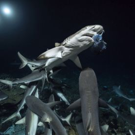 There was also the matter of not getting bitten, as the diver was not in a shark cage or using a protective suit. (Photo: Caters News)