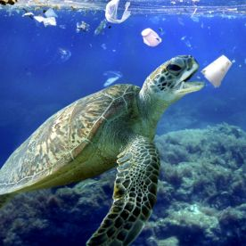 A sea turtle eats a styrofoam cup. Plastic bags and other plastic garbage drift through oceans driven by wind and currents. (Composite photograph by Paulo de Oliveira/ARDEA/Caters News)