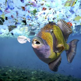 A titan triggerfish, Balistoides viridescens, eats a plastic object. A lot of sea animals ingest plastic garbage because they think its edible food. (Photo: Paulo Di Oliviera/ARDEA/Caters News)