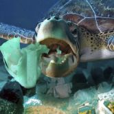 A sea turtle eats a plastic detergent bottle. Plastic bags and other rotting plastic trash drift through oceans driven by wind and ocean currents. (Photo: Paulo Di Oliviera/ARDEA/Caters News)