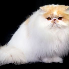 Persian cat Riascatz Dandy Lion earns winner of Supreme Cat 2018 in the GCCF Supreme Show at NEC Arena on Oct. 27, 2018 in Birmingham, England. (Photo: Shirlaine Forrest/WireImage)