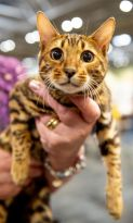 Toyger cat Tobysden Eris participates in the GCCF Supreme Show at NEC Arena on October 27, 2018 in Birmingham, England. (Photo: Shirlaine Forrest/WireImage)