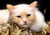 Cats participate in the GCCF Supreme Show at NEC Arena on Oct. 27, 2018 in Birmingham, England. (Photo: Shirlaine Forrest/WireImage)