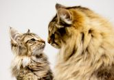 Norwegian Forest cats Bostinforest Chewbacca and his Grandfather Normystic Lord Burr participate in the GCCF Supreme Show at NEC Arena on October 27, 2018 in Birmingham, England. (Photo: Shirlaine Forrest/WireImage)